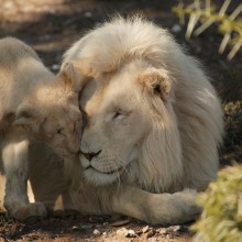 withe lions released in wilderness